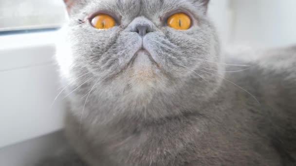 Gray proud cat lying on window sill.