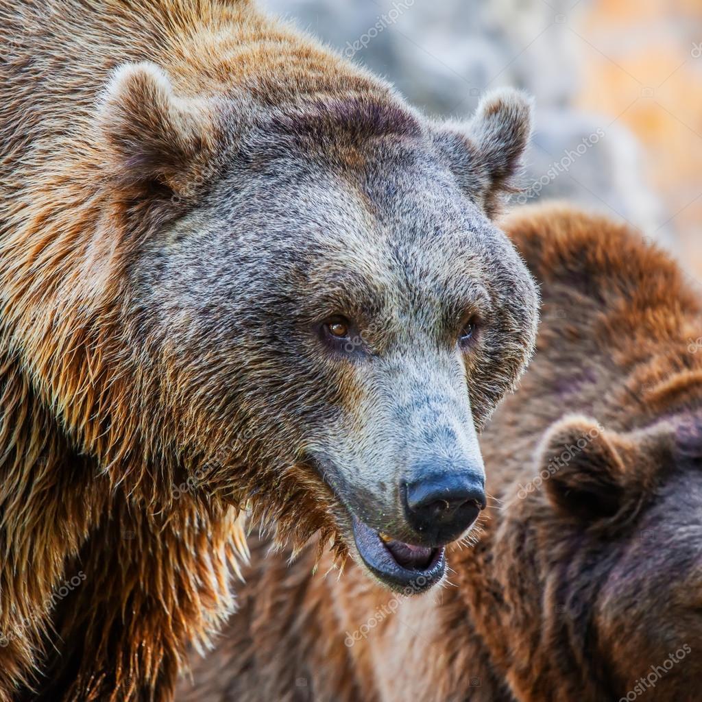 Brown Bear head, close-up shot
