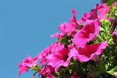 Krásné jemné květy Petunie
