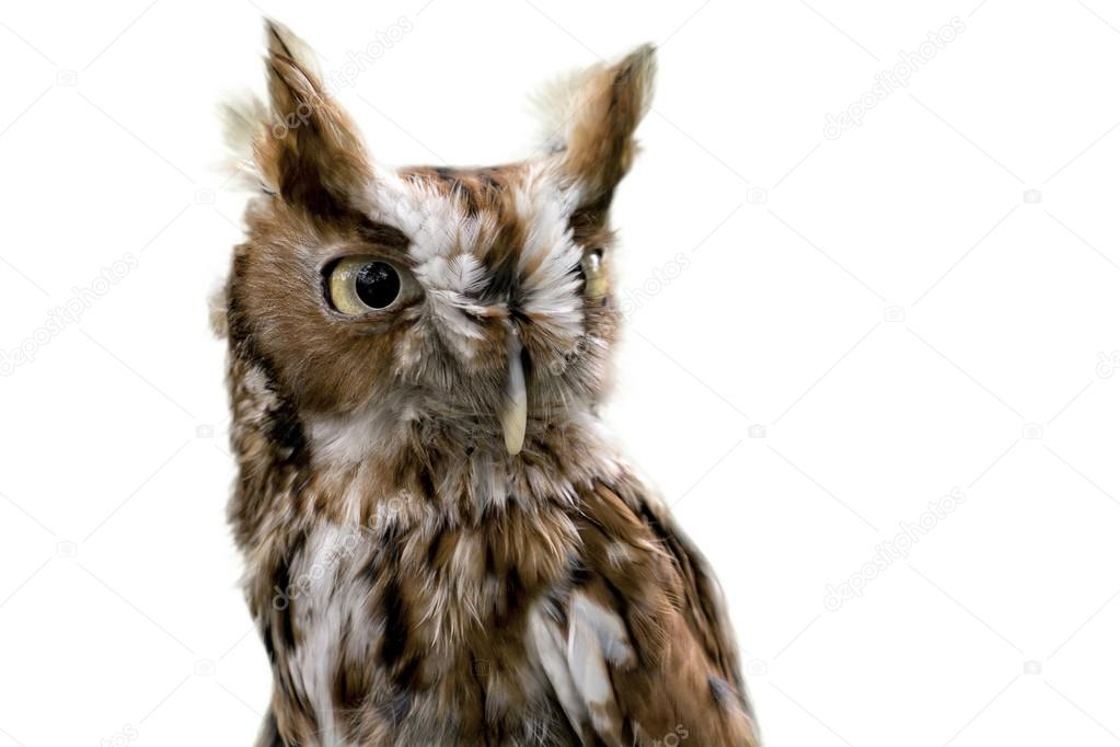 Eastern Screech Owl Isolated