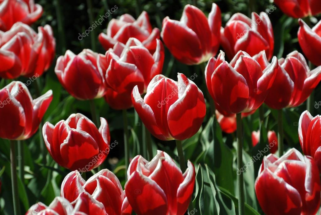 Red and white tulipans