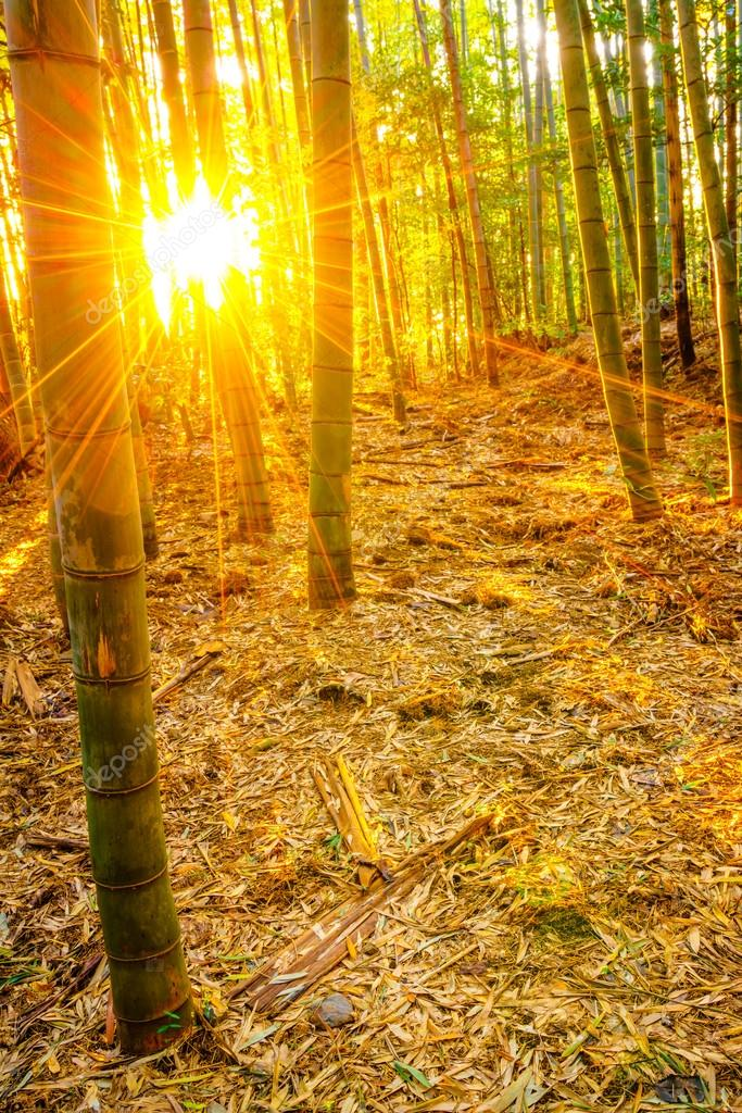 Bamboo forest with sun rays