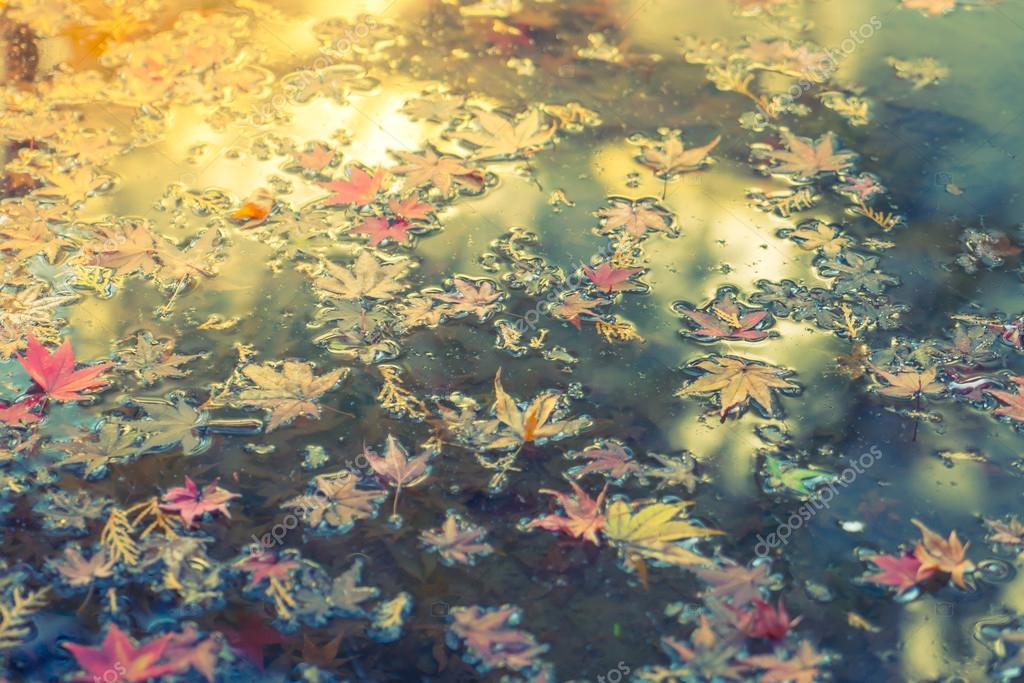 Colorful  Autumn maple leaf on the water ( Filtered image proces