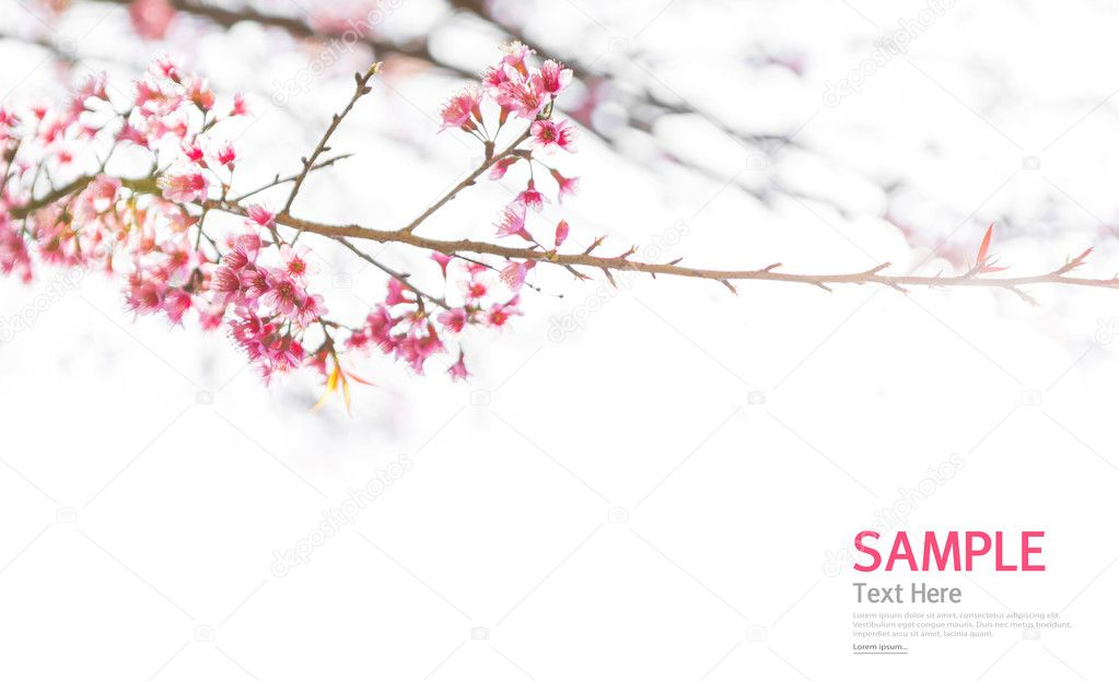 Soft focus Branch of beautiful pink flower isolated on white bac