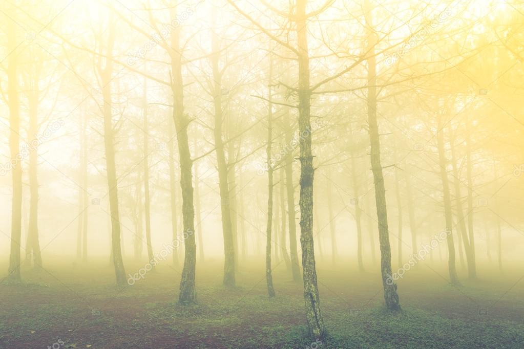 Forest tree during a foggy day  ( Filtered image processed vinta