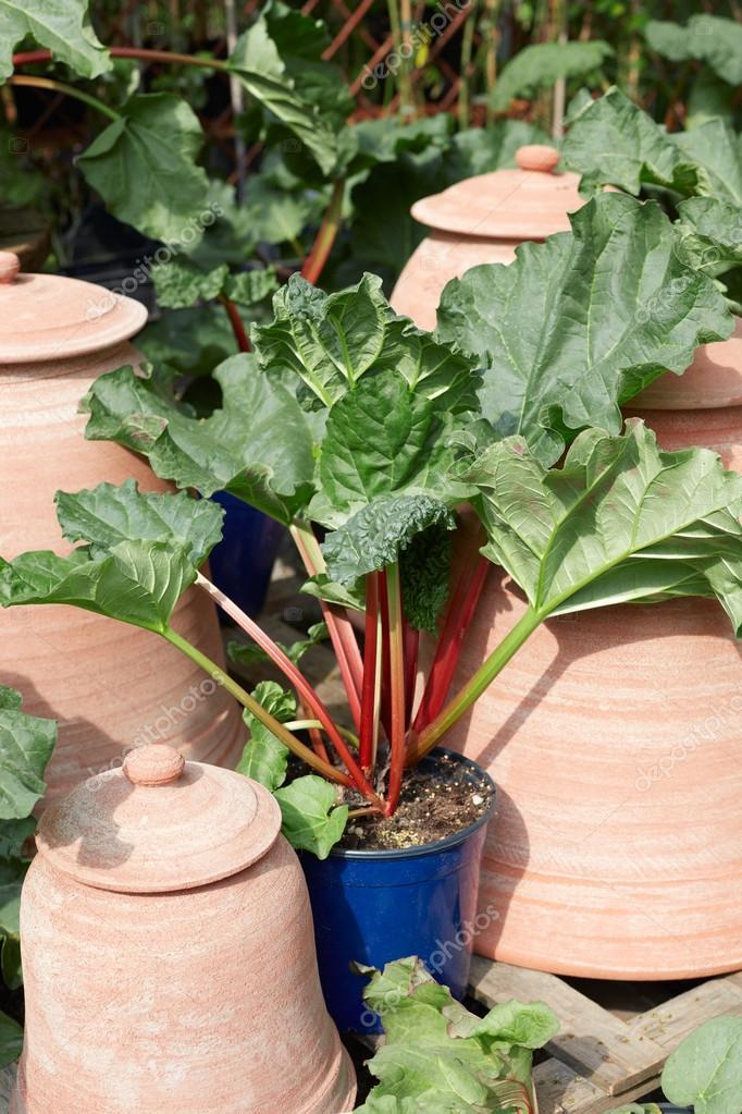 Rhubarbe, plante palmatum Rheum en pot — Photographie AndreaA. © #109444602