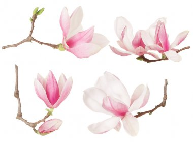 Magnolia pink flower twig spring collection
