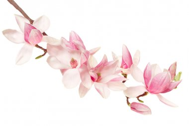 Magnolia pink flower, spring branch on white