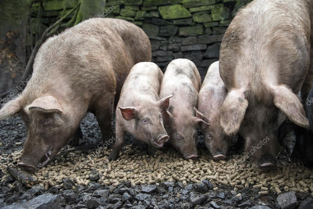A family of pigs eating pellets of food