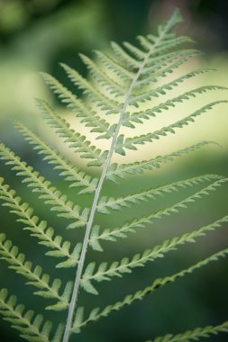 Fresh green fern leaf