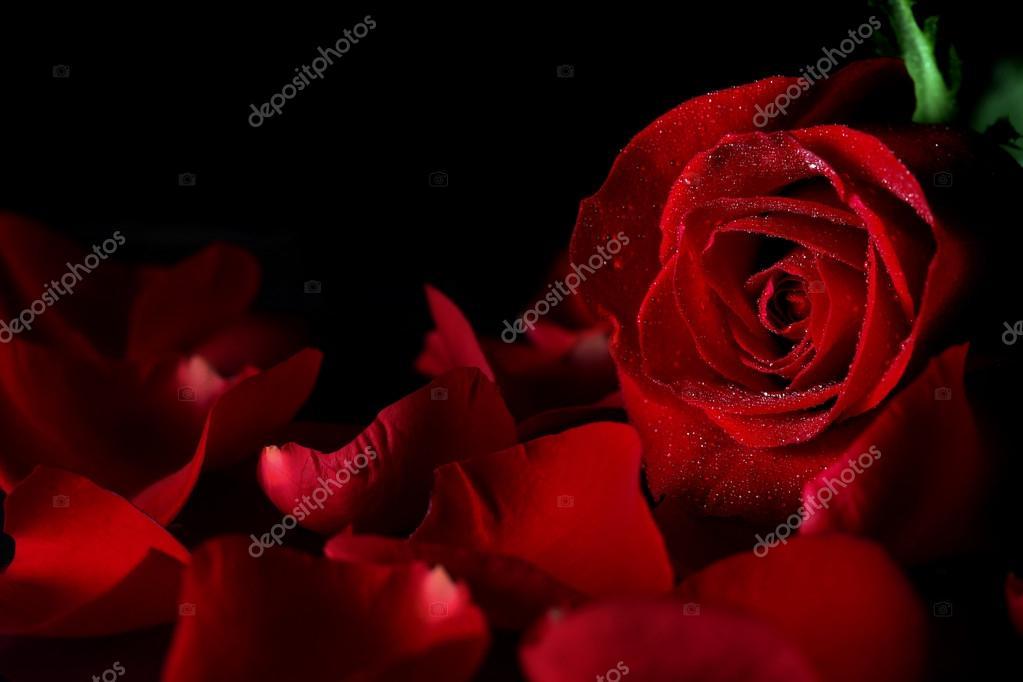 Обои Роза Скачать Бесплатно