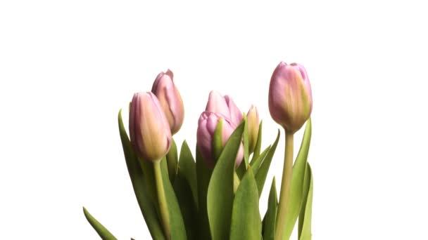 Time-lapse fialové tulipány