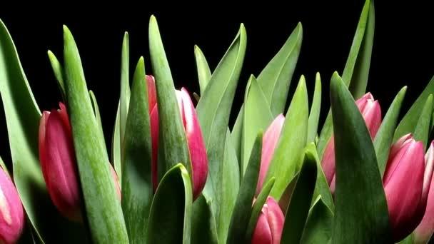 Tulipán květ Time-lapse