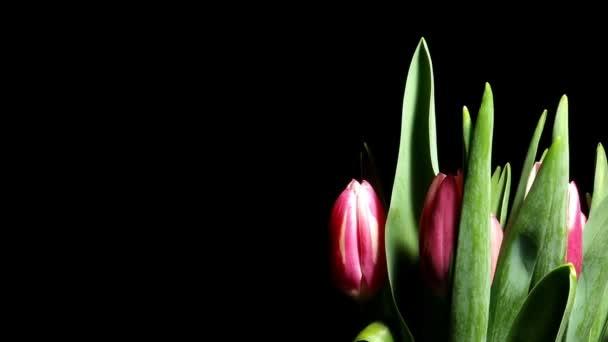 Tulipán virág Time-lapse