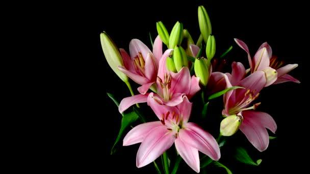 Růžový asijské lilie květ Timelapse