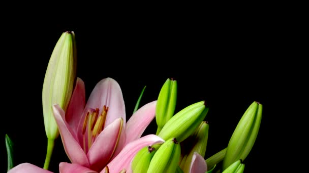 Pink Asiatic Lily Flower Timelapse