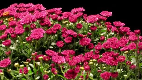 Purple Chrysanthemum Time-lapse