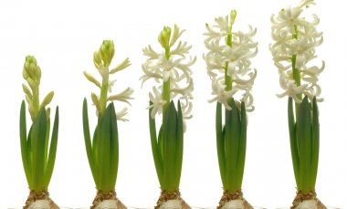 White Hyacinth Series