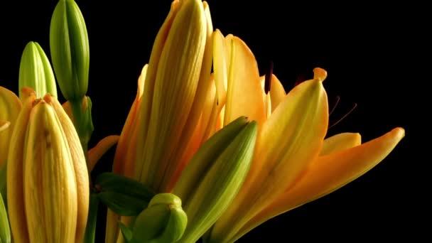 Asijské lilie květ Time-lapse