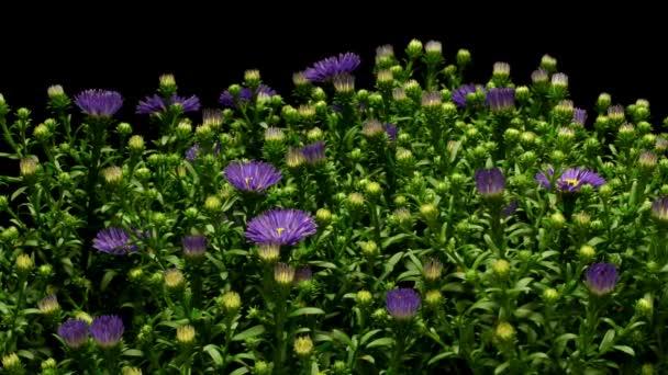 Květ fialový Aster Time-lapse