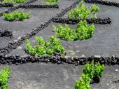 Photo The vines of lanzarote