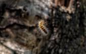 Fotografie Processionary caterpillar