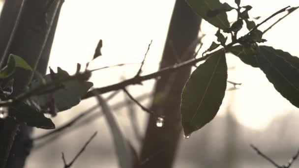 Dew kapky ve vavřínových listech