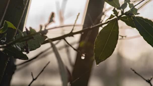 Kapky rosy ve vavřínových listech 2