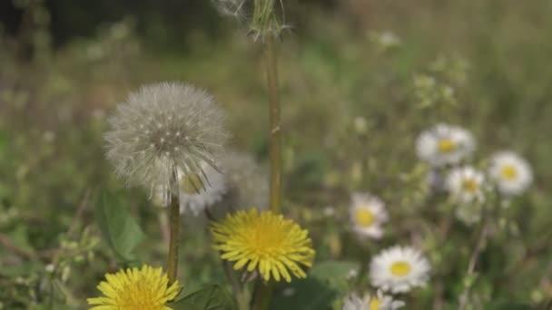 Taraxacum Blüte im Frühling 13