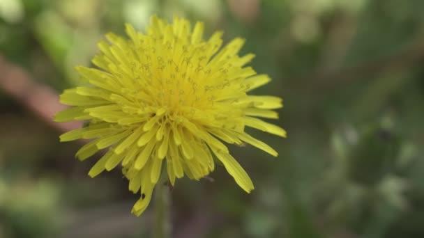 Taraxacum Blume im Frühling 10