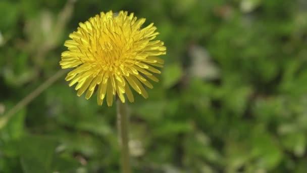 Taraxacum Blume im Frühling 9