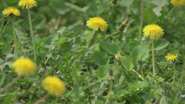 Taraxacum Blume im Frühling 8