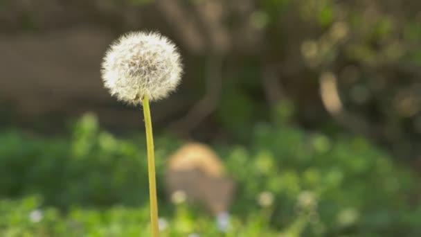 Taraxacum Blume im Frühling 3