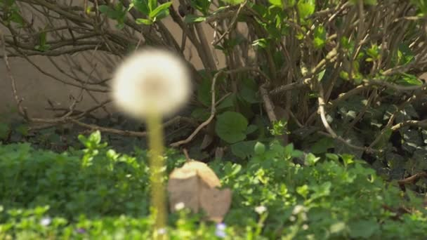 Taraxacum Blume im Frühling 4