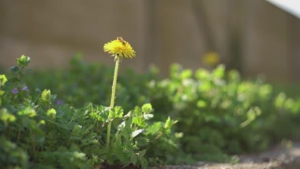 Taraxacum Blume im Frühling 6