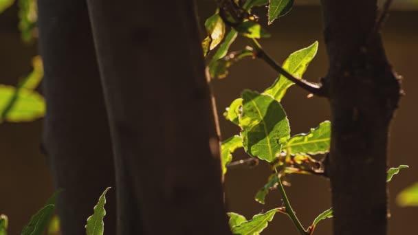 Backlit laurel leaves detail at sunset