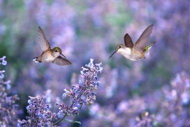 Hummingbirds over background of purple flowers