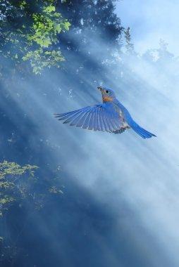 Bluebirds fly in sunlight spring concept
