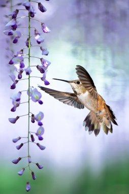 Tiny Hummingbird over background of purple wisteria vertical ima