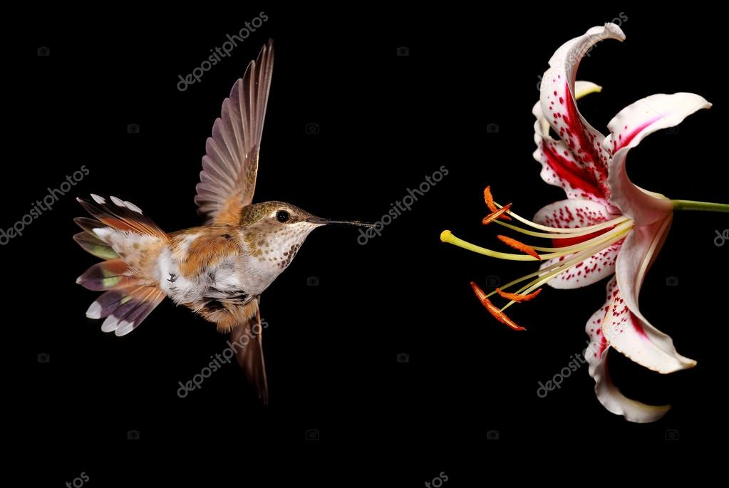 Hummingbird with Stargazer Lily Flower over black background