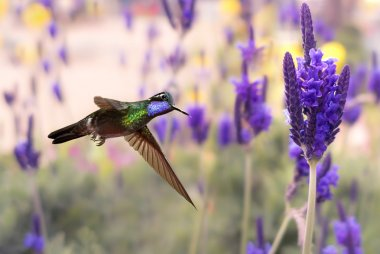 Purple-throated mountaingem in flight with lavender flowers