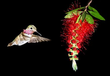 Hummingbird feeding from red beautiful tropical Bottlebrush flow