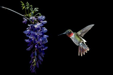 Hummingbird feeding from Acacia Flower