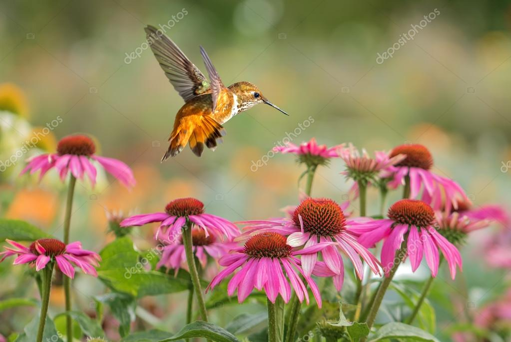 Rufous Hummingbird over bright summer background