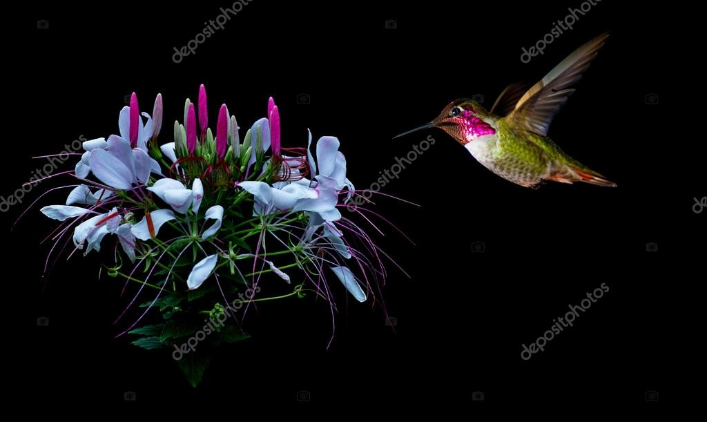 Hummingbird visits tropical flower black background