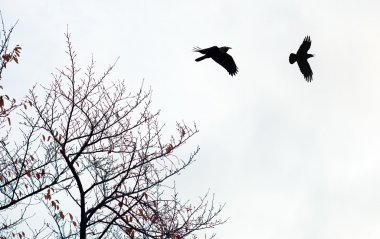 Black crows against cloudy sky
