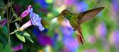 Kolibřík (Archilochovi colubris) v letu nad fialové květy