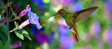 Hummingbird (archilochus colubris) in Flight over Purple Flowers
