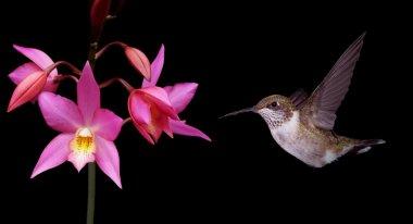 Hummingbird in Flight Panoramic View