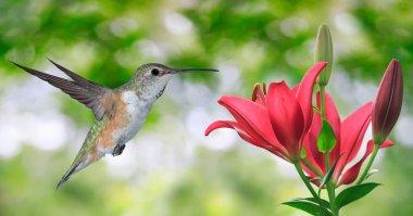 Hummingbird (archilochus colubris) Flying over Green Background